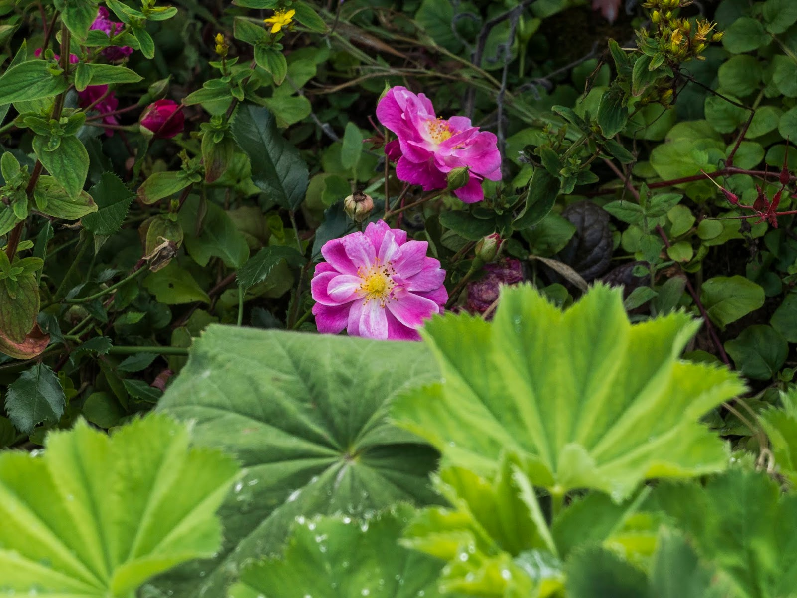 Two pink roses among green leaves.
