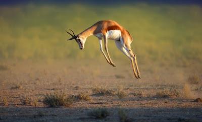 Springbok - 88 km/jam