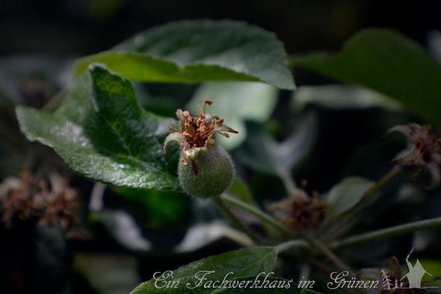 Apfelbaum, Apfel