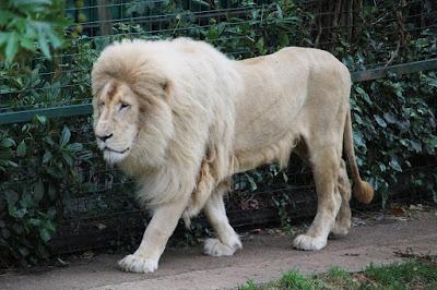 White Lion at Paradise Wildlife Park