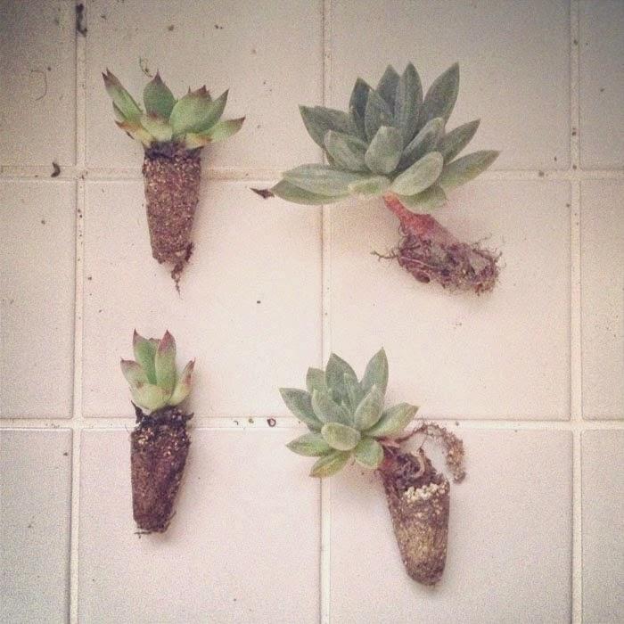 リノベーションマンションのタイルの床に置いたエケベリア科の多肉植物