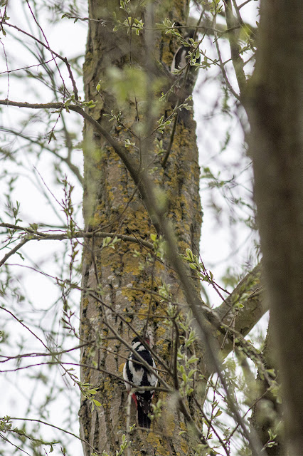 a Pair of Great Spotted Woodpecker