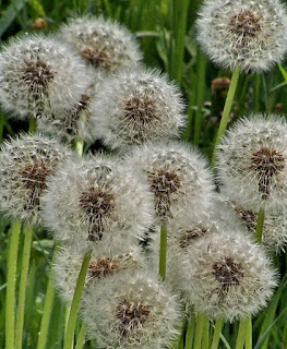 Photo of Seeded Dandelions by Rita Mezzela