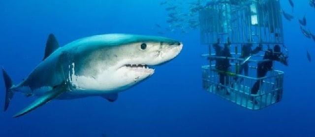 Ciri Morfologi Ikan Hiu (Carcharhinus Longimanus) dan Gambarnya