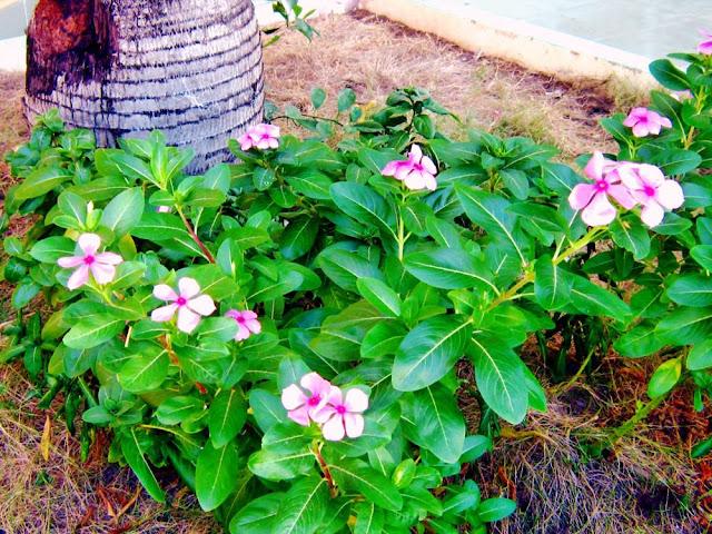 Dừa cạn hoa hồng-Catharanthus roseus-Nguyên liệu làm thuốc Hạ Huyết Áp