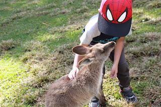 kangaroo yang sangat jinak dan mudah di dekati