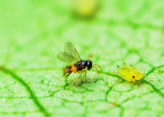wasp and aphid on leaf