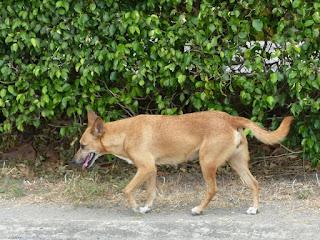 Chien domestique - Canis lupus familiaris