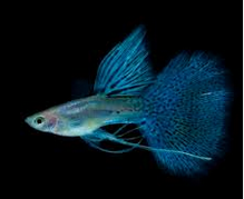 Jenis Ikan Guppy Blue Grass