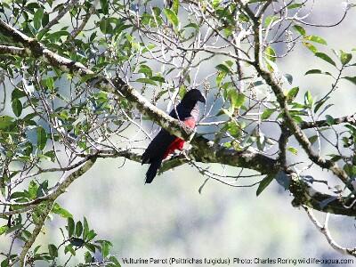New Guinea Vulturine Parrot in Tambrauw regency