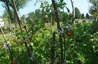 hodowla pomidorów