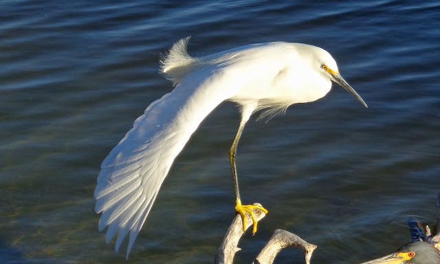 Snowy egret stretching