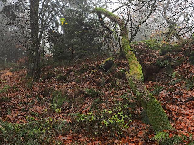 Umgestürzter Baum mit viel Moos