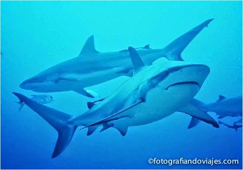 tiburones en Roatan