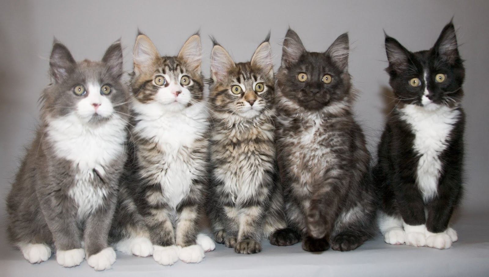 Maine Coon Cat Information: Big Friendly Giant