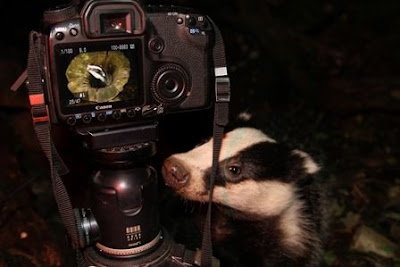 Badger and camera in Ryedale