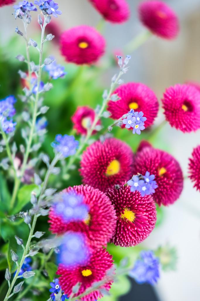 fim.works, ein Lifestyle Blog | Bellis, Vergissmeinnicht, Gartenblumen, Frühlingsblüher
