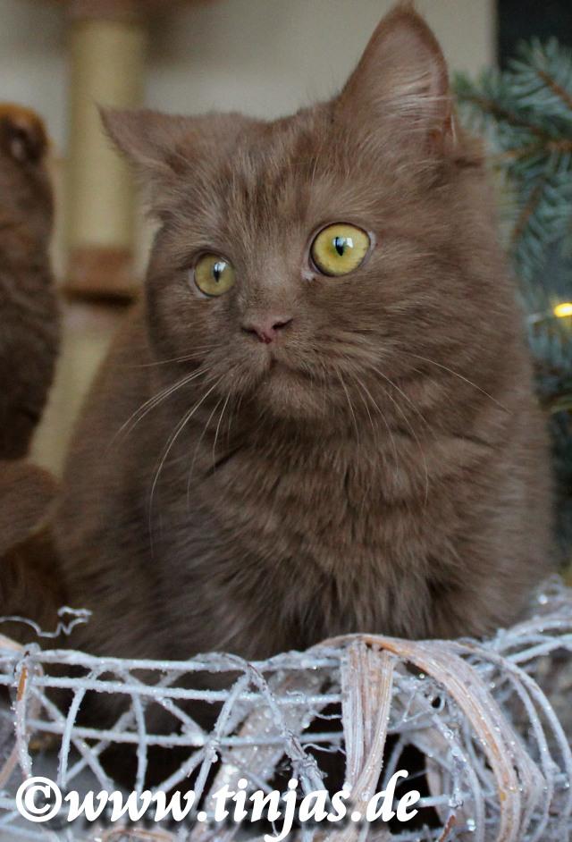 tinjas BKH Kitten cinnamon 2016
