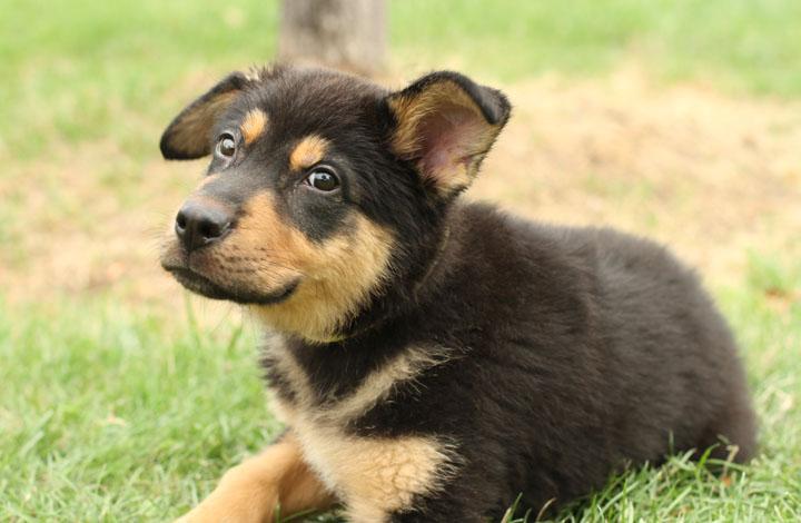 Targa German Shepherd Mix Puppy