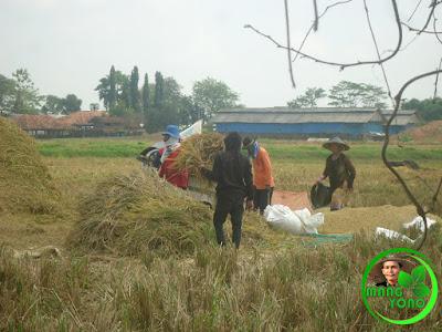 Pemanenan padi.