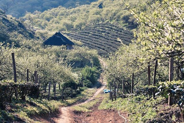 Moc Chau Plateau - romantic Valentine's Day destination for couples