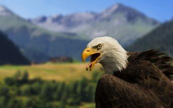Wallpaper: Bald Eagle