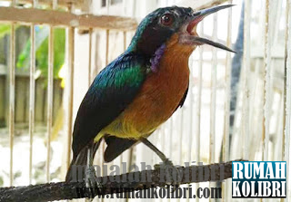 kolibri muncang