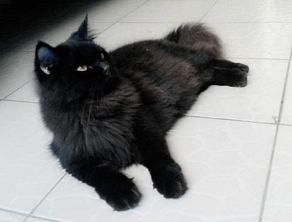 Unduh 97+  Gambar Kucing Persia Hitam Paling Bagus Gratis
