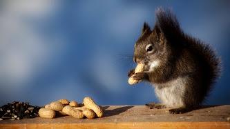 Wallpaper: Squirrel Eating Peanuts