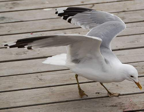 Birds of India - Photo of Mew gull - Larus canus