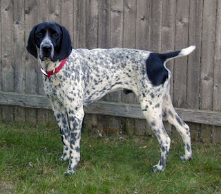 Braque d'Auvergne-pets-dogs-dog breeds
