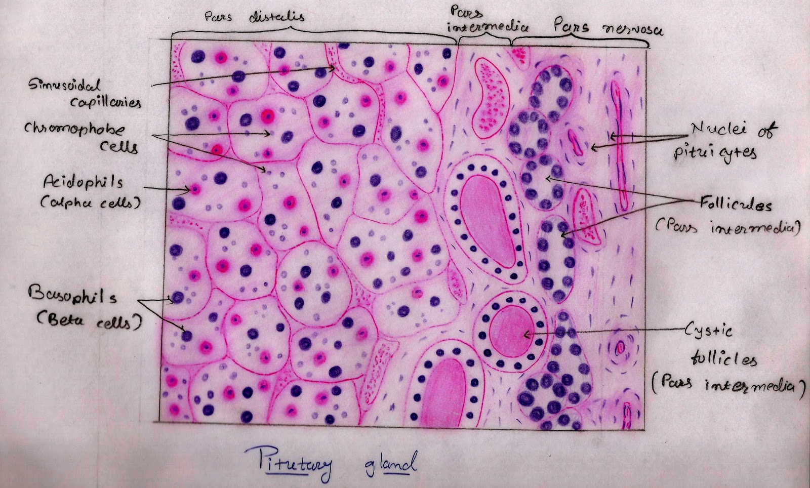 Histology Image  Endocrine System