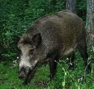 Mengenal tentang Morfologi dan Klasifikasi hewan Babi