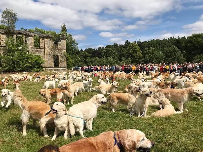 361 Golden Retrievers Gathered In Scotland, And The Photos Caused Us A Cuteness Overload