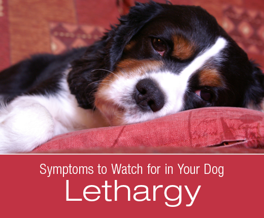 Symptoms To Watch For In Your Dog: Lethargy