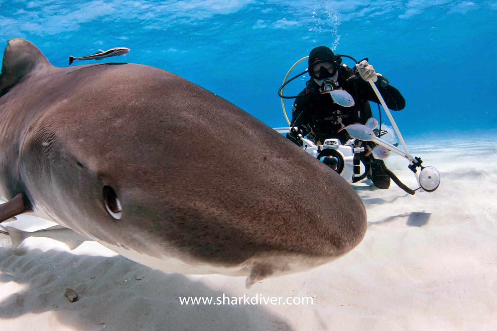 Hammerhead shark attacking diver? - SharkDiver