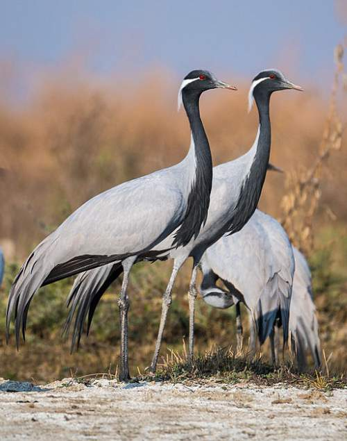 Demoiselle | Demoiselle Crane Birds Of India Bird World