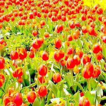 Tulips in Canberra Floriade