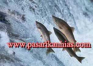 Jual Ikan Salmon Masih Hidup