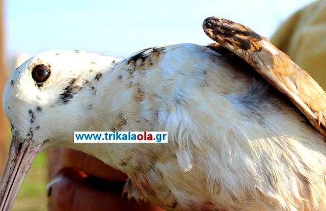 Απίστευτο… Μπεκάτσα με λευκά φτερά χτύπησε κυνηγός στα Τρίκαλα (βίντεο-φωτό)