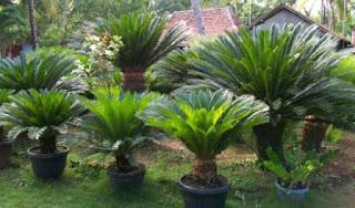 Soal Biologi : Tumbuhan (Plantae) dan Jawaban (50 Soal Pilgan)