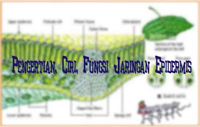 Pengertian, Ciri, Fungsi Jaringan Epidermis
