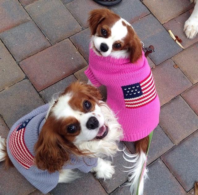 Blenheim Cavalier King Charles Spaniels in American flag sweaters in Carmel, California