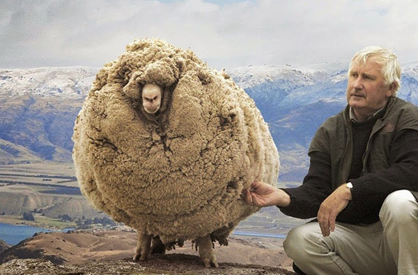 Clever Sheep Avoided Shearing For Six Years By Hiding In A Cave