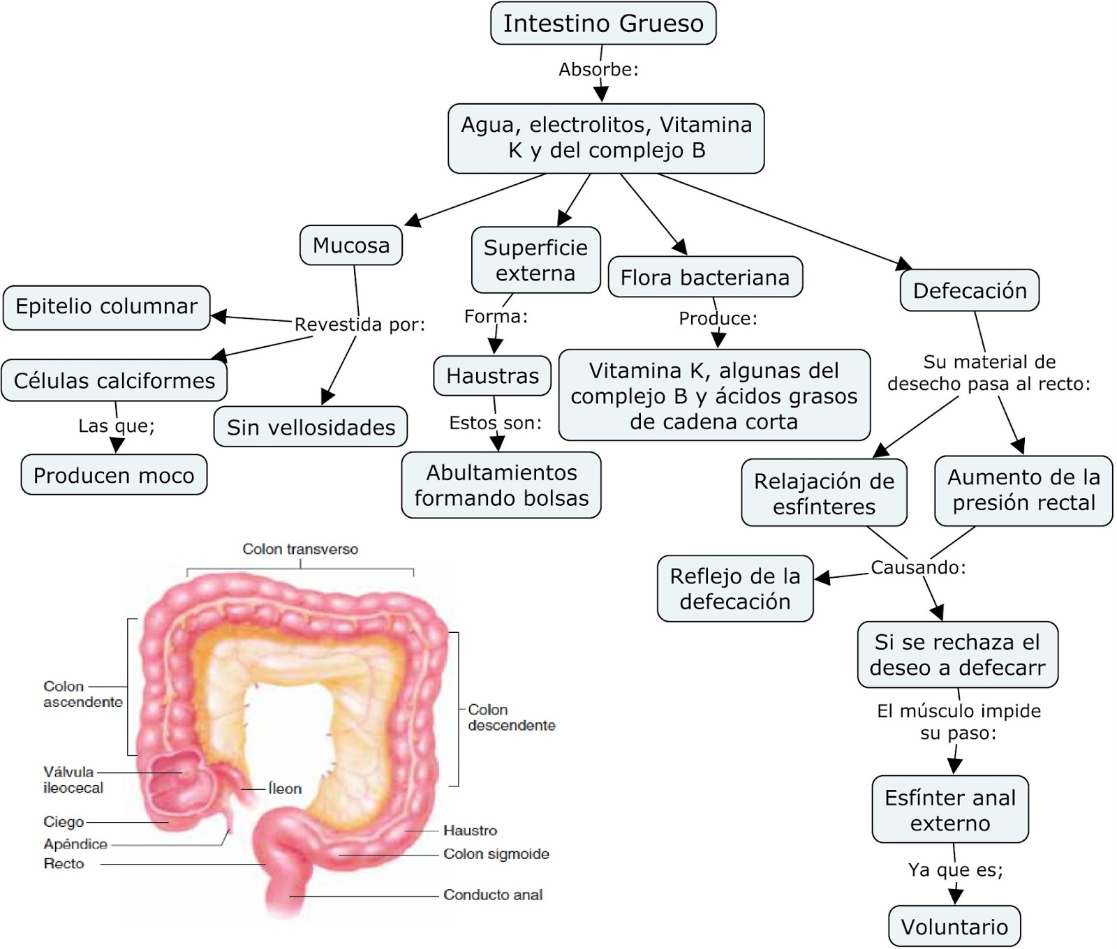 Asombroso Ubicación Del Intestino Grueso Friso - Anatomía de Las ...