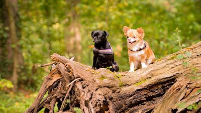 """Tierfotografie Tier-Portrait Chihuahua- Hundedamen Komando """"Sitz"""" wartend auf Baumstamm"""
