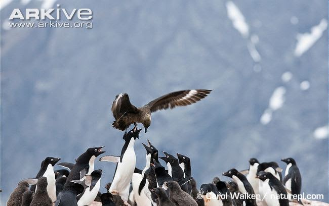 interactions between marine birds southern skua