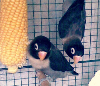 Lovebird Hitam atau Batman
