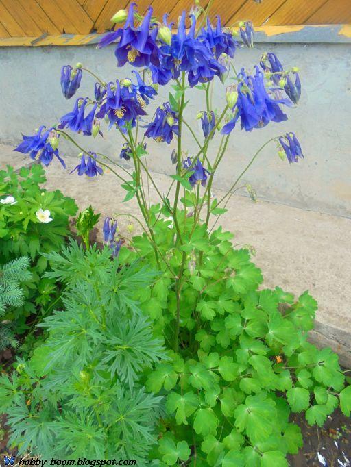 водосбор как украшение сада