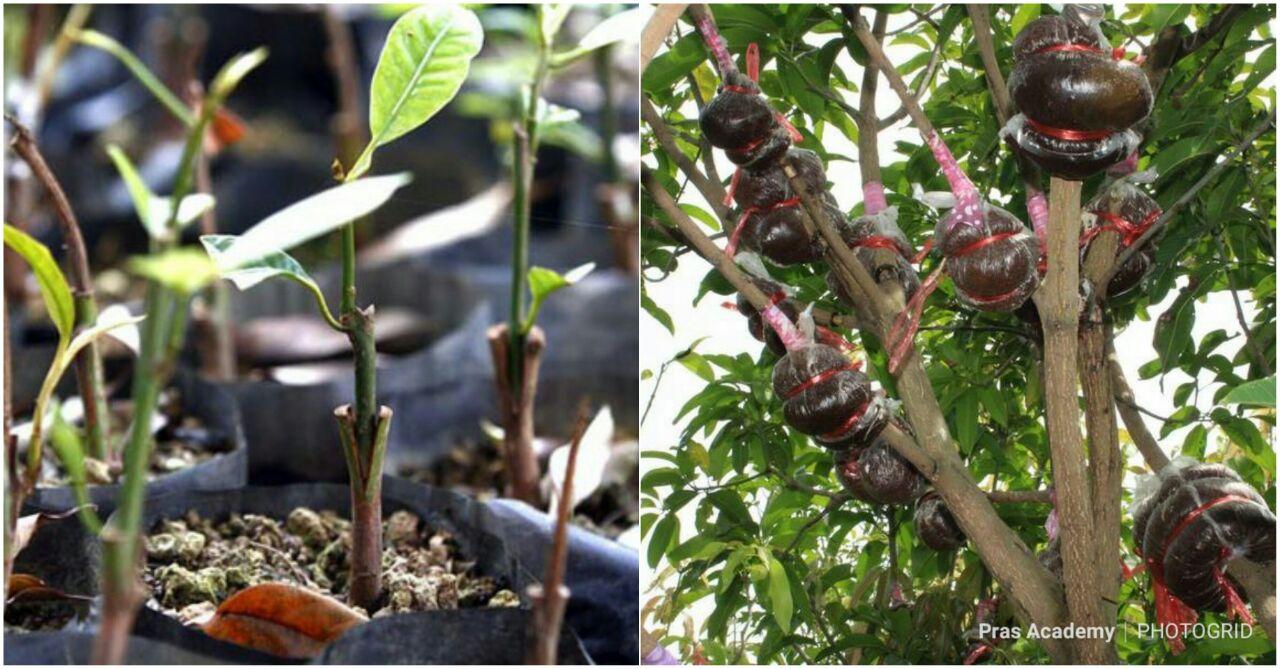 Pras Academy Smp Reproduksi Aseksual Vegetatif Buatan Pada Tumbuhan Angiospermae Tumbuhan Berbiji Tertutup